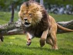 Lyon - Männlich Löwe (4 Jahre)