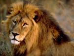 Moumou - Männlich Löwe (11 Monate)