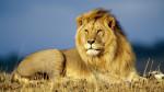 leon - Männlich Löwe (5 Jahre)