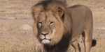 Cécil - Männlich Löwe (13 Jahre)