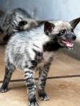 bebe hiena sonriendo - Gestreifte Hyene (3 Jahre)