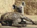 homer - Gestreifte Hyene (4 Jahre)