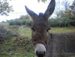 Bichette - Esel (3 Jahre)