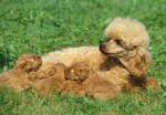 Une chienne Caniche allaite ses petits
