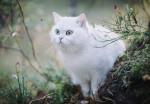 Un très beau British Shorthair blanc aux yeux bleus