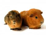 Dragibus - Männlich Langhaar Hausmeerschweinchen (6 Monate)