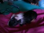 Pinckie ( petit de Lilo et Stitch qu'on garde ) - Meerschwein (2 Monate)