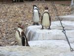 manchot - Pinguin