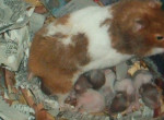 Mom - Ratte (1 Jahr)