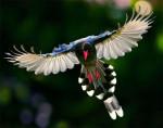 torciz - Männlich Vogel (2 Jahre)