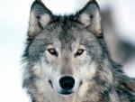 WolfBlood - Männlich Wolf (1 Jahr)