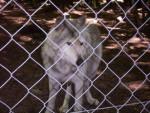 Zoolobo - Männlich Wolf (2 Jahre)