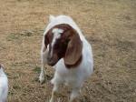 Rosemary - Ziege (1 Jahr)